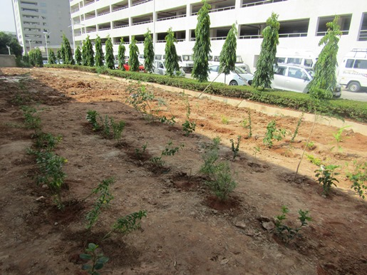 After planting: Our area is a new green space with rows and rows of new saplings.